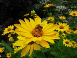 Sonnenblume Helianthus