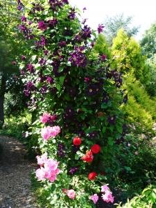 Clematis und Rosen