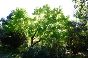 Gold-Trompetenbaum