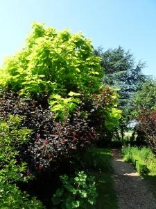 Gold Trompetenbaum und Dunkelrote Blasenspiere